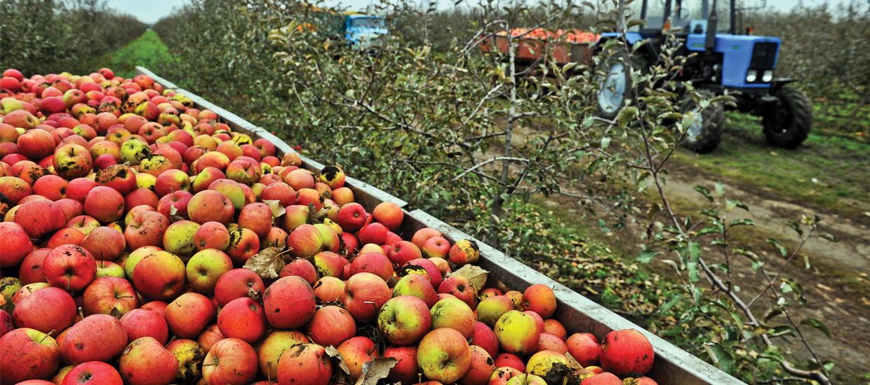 Fresh apples make great hard cider
